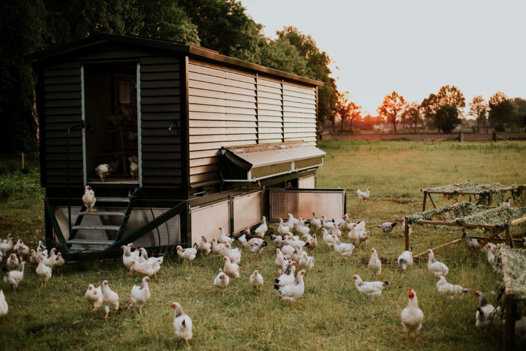 GeluksVogel mobiele kippenkar - De kippen hebben steeds een nieuw stukje landgoed om op te grazen.